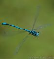 Common Blue Damselfly (<i>Enallagma cyathigerum</i>)<br/>Camera: Nikon D800<br/>Lens: 70-200mm f2.8 + TCIII Converter @ 400mm<br/>Exposure: 1/1250 sec;  f/5.6; ISO 400 Hand held<br/>Date taken: 26 May 2014.